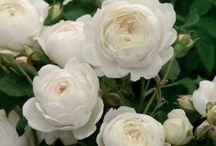 Claire Austin Fragrant English Rose