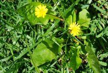 Ervas medicinais e verduras do mato