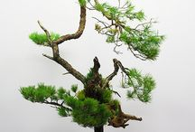 bonsai