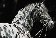 Knabstroppper / Voici les chevaux Knabstropper l'une des plus belle race du monde de chevaux.