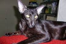 My Cat / My oriental short hair cat, Amon.