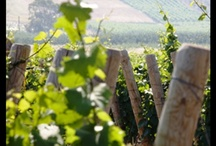 Sicily: Wines and Vineyards / Sicily is one of the most important wine-growing Region of Italy. There are more than 100 different native grape varieties, most of which are totally unknown. #sicily #wine