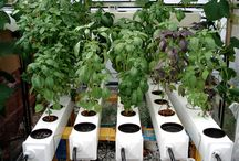 Hydroponic cultures
