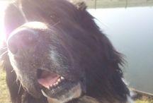 Landseher / meine hunde