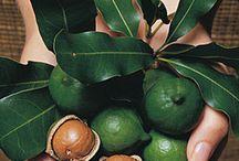Macadamia / Frutto nativo delle foreste pluviali australiane. Il suo olio ha un forte potere ristrutturante, restitutivo ed idratante.