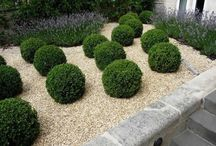 Boxwood / Shrub