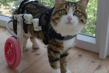 Cats -> Wheel Chair