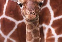 Giraffes / by Elle Ardrey