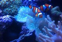 My Aquarium / Pictures of my Saltwater Aquarium