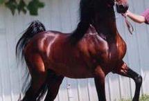American Saddlebreds