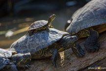 želvyčky