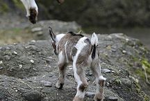 Mehhhhhhh Mini Goat / Pygmy goats don't stupid things to make my day