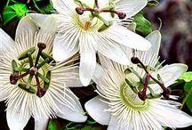 Passiebloemen