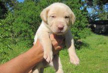 Labrador-szerelem <3 <3