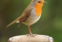 Robins... my favourite bird.