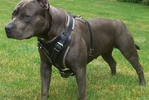 Leather harnesses for your dogs / Hand made leather harnesses for your dogs that are comfy and sturdy