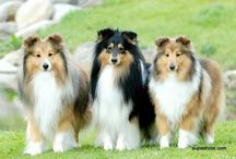 犬 Dogs (Sheltie)