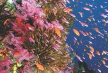 Diving in Fiji / If variety is the spice of life, then Fiji is diving's red hot chilli pepper!