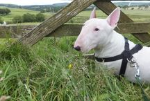 Indie my english bull terrier, and others.