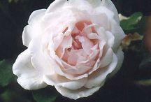 Roser / Smukke roser til haven