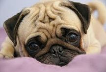 Because Pugs / I just simply love them.I am the happy owner of two.