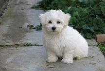 Sofinka náš havanský psík