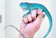 Blue iguanI