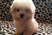 Satılık Maltese Terrier / Satılık Maltese Terrier Yavruları  http://maltese-terrier.yavruilani.com
