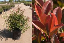 Photinia x fraseri / Anyone familiar with T-Y Nursery knows that this is one of our key crops. I think most people in the industry are familiar with this item so there is no need to go on about how big it gets and cold hardiness etc. What is important for you all to know is that our 5 and 15g crops are very nice... full plants with good body. These are on practically every semi that leaves the yard... a good filler for sure.