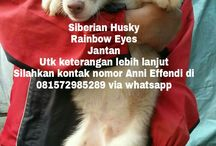 Von Javelline Kennel jual anjing Siberian Husky Rainbow Eyes