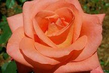 roses-etc