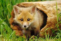 Tapety - zwierzęta - lisy