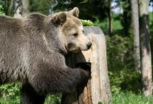 Meet our bears at BEAR SANCTUARY Arbesbach / FOUR PAWS BÄRENWALD Arbesbach, Austria, was the first sanctuary FOUR PAWS has founded to help bears from bad keeping conditions. Meet our bears living in Arbesbach for many, many years now.