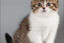 Scottish Fold and Rex Cats