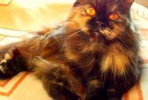 Мой людимый питомец. Персидская черепаховая кошка.