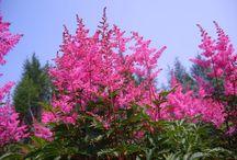 Rose / Végétaux à floraison rose