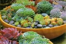 Pots Succulentes