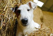 Celebrate the Smooth Fox Terrier / Celebrating all things Smooth Fox Terrier