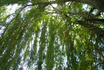 Willow Trees / Need help identifying a tree? Dreaming of your dream garden or landscaping project? Or are you simply just in love with the graceful beauty of willow trees? We've got you covered.