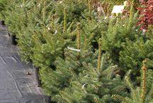 Świerki srebrne w doniczce żywe choinki na Boże Narodzenie / Choinki żywe w doniczce, jałowce, świerki  na Boże Narodzenie