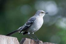 ANIMAL • Mockingbird