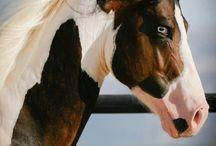 HORSES ~ PINTO'S & PAINT'S