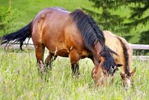 Horses / Pictures of horses in natural sceneries of Slovak countryside.