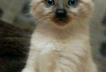 Siamese cats!