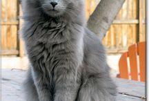 Nebelung Cat || Kot Nebelung