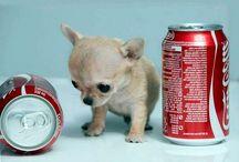 Razas de perros pequeños / La colección más grande especializada en perros pequeños. Enlaces a fichas de cada una de las razas de perros pequeños que existen con información sobre su alimentación, cuidado, cachorros, cría, enfermedades comunes de cada raza y mucho mas. Todo ilustrado con bellas imágenes. #dogs dogbreeds #perros #razasdeperros #perrospequeños