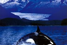 We *heart* Orcas / Orca Bay seafoods is a proud supporter of ORCA the Center For whaleresearch.com