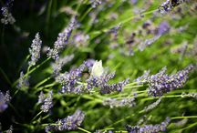 Lavender in Hullam Villa b&b / Enjoy the fragrant Lavender Days at Lake Balaton. Come to us during the blossom and get enchanted by the beauty and scent of this wonderful flower.