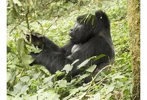 Gorilla trekking / Gorilla trekking safaris are among the the top wildlife experiences on the planet. Get your heart racing as you track gorillas in Uganda's beautiful Bwindi Impenetrable National Forest, or Rwanda's Volcanoes National Park.