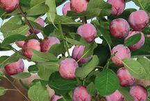 Fruitbomen / Aanshouw de schoonheid van fruitbomen. Hier tonen we je een verzameling pins van kersen-, appel-, peren- en pruimenbomen. Prachtig toch! Veel kijkplezier. Wil je zelf een boom kopen? Kijk dan snel op https://www.warentuin.nl/zaden-planten/bomen-struiken/fruitbomen/.